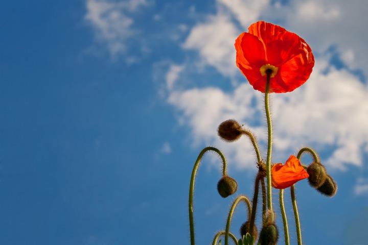 poppy-641423_1920